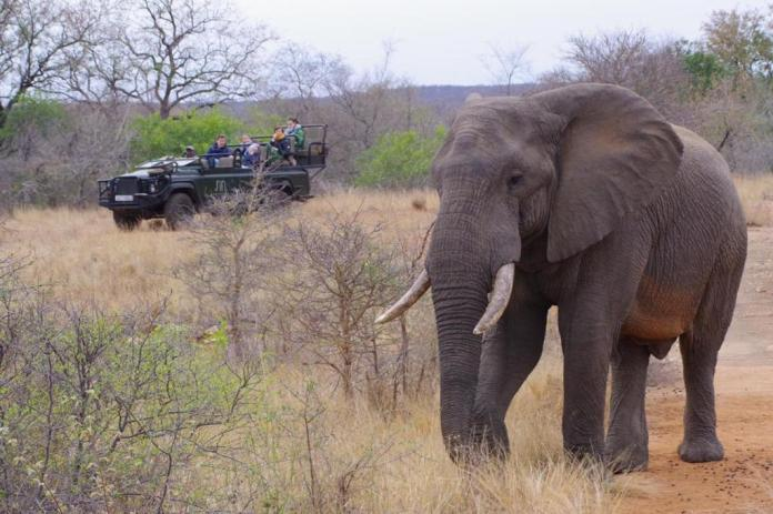 elephant tusks mid distance three quarter on with tourist in background in truck