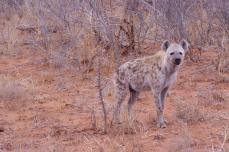 hyena looking forward mid distance