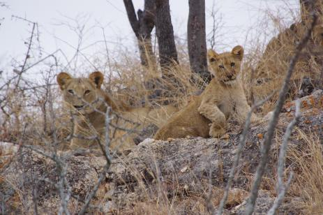 lion cubs mid distance through thin trees