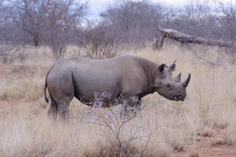 rhino side on mid distance